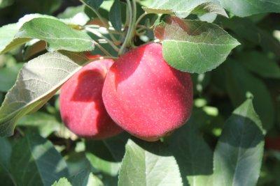instant applesauce